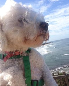 Love the breeze through my hair! A #beautiful 2 hour walk today with my mama. #dogsofinstagram #selfie time #spoodle #dogsocialising #dogslife #dogslifeishard #janjucbeach #blueskies #surfsup #happyplace #lovinglife @queenb.bella @ind_lewis by ivyanded http://ift.tt/1X8VXis