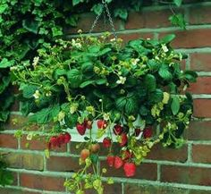 Alpine strawberries in a hanging planter-love it.