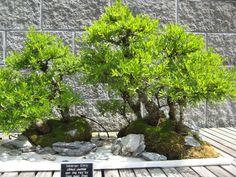 Bonsai's at Norfolk Botanical Gardens