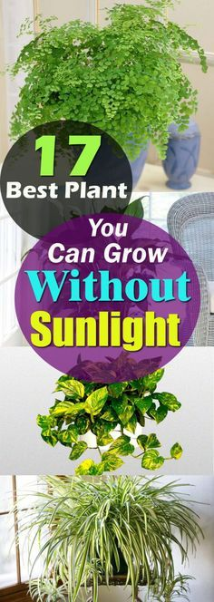 There are plants that grow without sunlight, they need indirect exposure, some even thrive influorescent light and here in this article, we've listed 17 best plants to grow indoors.