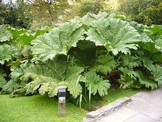 Giant Rhubarbs (gunnera manicata): Gunnera manicata, known as Brazilian giant-rhubarb or giant rhubarb, a native to South America from Colombia to Brazil, is a species of flowering plant in the Gunneraceae family.    It is a large, clump-forming herbaceous perennial growing to 2.5 m (8 ft) tall by 4 m (13 ft) or more. The leaves of G. manicata grow to an impressive size. Leaves with diameters well in excess of 4 ft (122 cm) are commonplace, with a spread of 10 ft (3 m) by 10 ft (3 m) on a…
