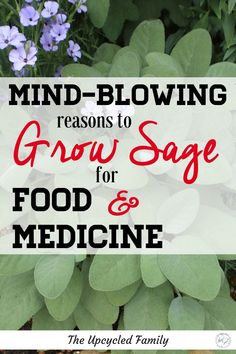 Herb Gardening Sage growing in your garden. The benefits of sage surpass that of simply culinary uses. Sage benefits and uses for both food and medicine. Sage Benefits, Calendula Benefits, Healing Herbs, Medicinal Plants, Gardening For Beginners, Gardening Tips, Companion Gardening, Growing Herbs In Pots, Growing Plants