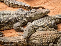 Ferme aux crocodiles Drôme Pierrelatte  http://www.sitestouristiques-drome.com/