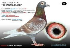 Image result for racing pigeon