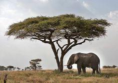 Elephant under Acacia Tree