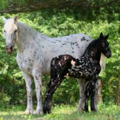 App Mare and Colt- Colt is mystic Warrior