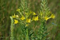 Sand Evening Primrose is a biennial for sandy soils in full sun. Sandy Soil, Evening Primrose, Superfoods, Mother Nature, Wild Flowers, Weed, Natural Remedies, Herbs, Plants