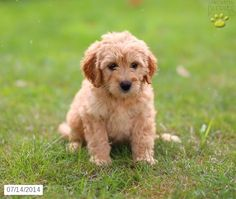 Mini Goldendoodles on Pinterest | Mini Goldendoodle ...