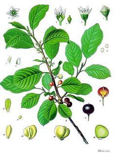 """Bourdaine - La Bourdaine ou Bourgène (Frangula alnus ou Rhamnus frangula) est un arbuste ou petit arbre de la famille des Rhamnacées qui pousse en milieu très humide et dont l'écorce est utilisée comme purgatif.  La bourdaine est fréquemment désignée par un nom prétendument plus ancien """"Frangula dodonei P. Arduino, 1766"""", mais les écrits de Arduino ne présentent pas de vrai nom binomial donnant un statut nomenclatural."""
