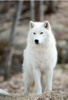 «Arctic Wolf» de WolvesOnly STOP KILLING WOLVES !