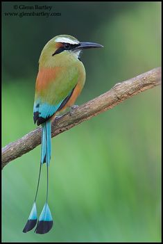 Nature Photography by Glenn Bartley – Favourite Natur… Turquoise-browned Motmot. Nature Photography by Glenn Bartley – Favourite Nature Photos from Costa Rica Tropical Birds, Exotic Birds, Colorful Birds, Most Beautiful Birds, Pretty Birds, Beautiful Creatures, Animals Beautiful, Tier Fotos, Little Birds