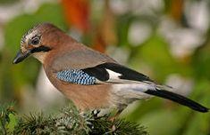 Vlaamse gaai (Garrulus Glandarius) Even groot als de kauw met mooi opvallend blauw op de vleugels.