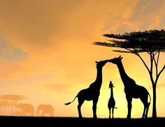 Giraffe Family Parents Kiss While Baby Looks up at sunset by an acacia tree with elephants in the background. Size: about 24 mega pixels