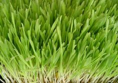 Barley Grass Organic - Powder - Whole Foods - Bulk Items
