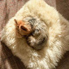 #Mittagsschlaf #meinhundprivat Challange Alfi sucht sich immer die schönsten Plätze zum schlafen. Auch wenn es nicht sein Körbchen ist. Mal ist es mein Pulli mal die Hausschuhe und hier eben das Lammfell auf dem ich jede Woche ein Foto von Friederike mache. #Hund #Hundeliebe #yorkie #yorkshireterrier #terrier #yorkiegram #yorkiedeutschland #terrierliebe #hundefotos #hundetricks #germanblogger #hundeblog #blogger_de #instablogger_de #yorkieliebe #yorkiemama #hundejunge #yorkiesgermany…