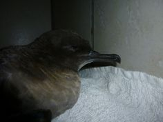 Sooty Shearwaters breed on small islands in the south Pacific and south Atlantic Oceans, mainly around New Zealand, the Falkland Islands, Tierra del Fuego and also in the Auckland Islands and Phillip Island off Norfolk Island. They start breeding in October, and incubate their young for about 54 days.
