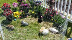 Holland lop bunnies, mini lop bunnies, rabbits, bunnies