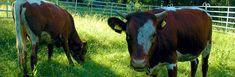Pinzgauský dobytok, hovädzí dobytok ideálny pre naše pasienky. Naše národné plemeno. Cow, Animals, Animales, Animaux, Cattle, Animal, Animais