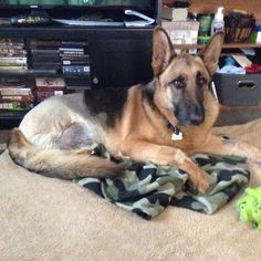 Bear is looking to set up play dates with other #Tripawds.  Anyone in Macomb County, Mi?