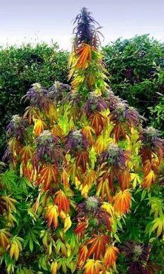 Gorgeous medical marijuana plant