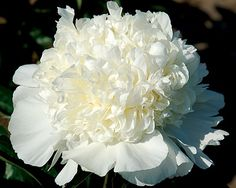 Wisconsin Cream - Midseason Hybrid, white, bomb, classy, sophisticated form! elegant white bomb distinguished by a heavily petalled center tuft, super deep green healthy foliage, slightly fragrant, has good potential to become on the Exclusive list of well paid cut-flowers, (Roy Klehm, USA). www.peonyshop.com