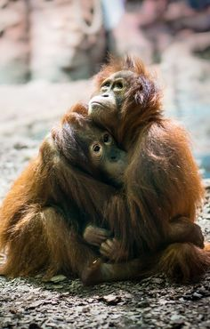 Very young orphaned orangutans comfort one another.