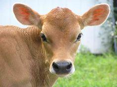Jersey calf....cutest ever!