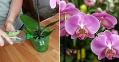 """Amatorii de orhidei cunosc foarte bine cât de capricioase sunt aceste flori exotice. S-ar părea că aceste plante de mlaștină au nevoie doar de udare moderată și substrat de turbă. De fapt, orhideele trebuie fertilizate, deoarece pământul din scoarță și mușchi nu hrănește floarea. Pentru a pregăti un îngrășământ, florarii recomandă să folosiți coaja de banane, care conține fosfor, potasiu, azot și magneziu – substanțe """"de aur"""" pentru ciclul de viață sănătos al plantei. Aceste microelemente… Forks, Gardening, Plant, Flowers, Lawn And Garden, Bobby Pins, Horticulture"""