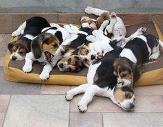 #adorable #animal #animals #cute #cutie #dog #doggy #dogoftheday #dogs #dogsofinstagram #dogstagram #ilovemydog #instagramdogs #life #cuccioli #nature #pet #pets #petsagram #cani #Beagle #razza #puppies #puppy #tagsta #tagsta_nature