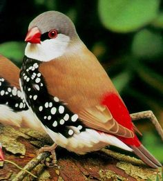 Diamond Firetail ,(Stagonopleura guttata) finch native to Australia