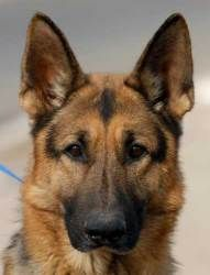 ADOPT Mr. Bigg! An adoptable German Shepherd Dog Dog in New Haven, CT.  Abandoned in West Rock Park and had been living in the woods for three weeks before we were contacted. He was being fed ...