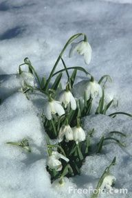 Snow drops.  These brave little soldiers show up early, bringing the hope of Spring.