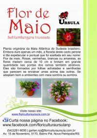 Flor-de-maio, Schlumbergera truncata.
