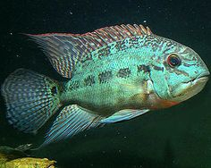 Oscar Fish, Fish Paintings, Monster Fishing, Exotic Fish, Corals, Freshwater Fish, Aquariums, Tropical Fish, Goldfish