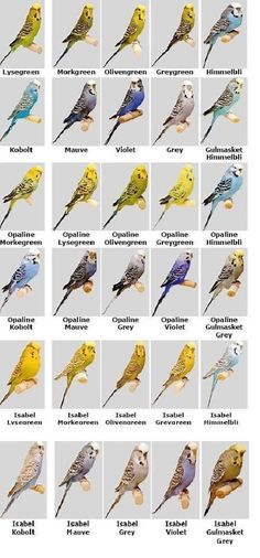 Image result for budgerigar colour chart