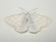 glitter moth