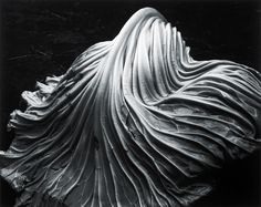 Cabbage Leaf photo - Edward Weston, 1931