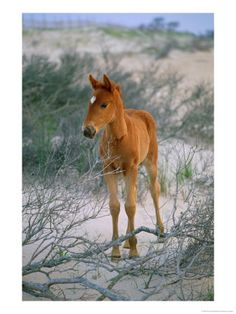 Baby Chincoteague Ponies