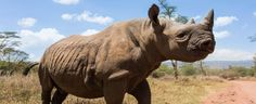 Rhino Conservation - Save The Rhino http://www.savetherhino.org/