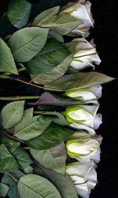 diego ruiz saavedra - Google+ One Rose, Plant Leaves, Centerpieces, Babies Breath, Flowers, Plants, Colours, Sign, Google