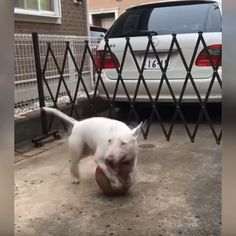 Chien Bull Terrier, Bull Terrier Funny, Mini Bull Terriers, Miniature Bull Terrier, English Bull Terriers, Cute Dogs And Puppies, Baby Dogs, Puppies Tips, Adorable Puppies