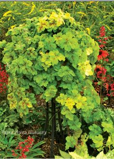 """Heucherella TRAILING 'Yellowstone Falls'. $9.00  'Yellowstone Falls' is the other half of the dynamic trailing heucherella duo (be sure to check out Heucherella 'Redstone Falls', too!). Deeply lobed leaves are bright chartreuse and marked with crimson splatters. Heucherella 'Yellowstone Falls' makes a brilliant 6"""" tall groundcover or a unique spiller in a container or hanging basket...imagine the possibilities! Blooms with short spikes of white flowers."""