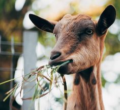 Three reasons to love goats and zero reasons not to.