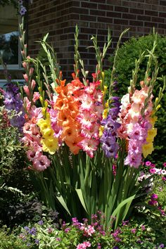 Planting gladiollas in clusters; I should have done this! Mine are all spread out