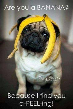 Are you a banana? Because if you are, you just wait till I find you !!! #pug