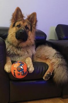 On my favorite chair with my favorite ball . Cute Puppies, Dogs And Puppies, Animals And Pets, Cute Animals, Pretty Animals, Smartest Dog Breeds, German Shepherd Puppies, German Shepherds, Funny Dog Memes