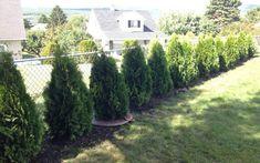 How to plant Emerald Green Arborvitae privacy trees (distance, etc) | Pretty Purple Door Arborvitae Landscaping, Privacy Fence Landscaping, Arborvitae Tree, Backyard Landscaping, Landscaping Ideas, Windbreak Trees, Outdoor Privacy, Hedge Trees, Gardens