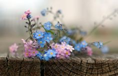 Forget Me Not Flowers. For all my sisters! Little Flowers, Wild Flowers, Beautiful Flowers, Cactus Plante, Foto Art, Forget Me Not, Planting Flowers, Flower Arrangements, Delicate