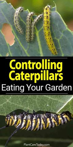 How To Control Caterpillars Eating Your Garden is part of Garden pest control - How to get rid of caterpillars eating plants in the garden Killing them using natural methods, from sprays using neem and biological controls [LEARN MORE]