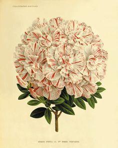 Azalea antique Botanical Art Prints Home Decor Victorian art Garden Wall Art Vintage prints1800s flower art print 8 x 10 art print
